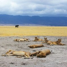 Photograph by @remibenali. Today is the World Lion Day 2015. An elephant passes behind a pride of lions resting in the Ngorongoro Crater in Tanzania. The animals are there a few meters from your car exposed to any hunter who could shoot them so easily. And yet they trust you undisturbed by your presence. What would be the point to kill these magnificent beasts? Are we in imminent danger? Do we need to eat them? How can one live today with a decapitated head hanging on a wall? I live in the…