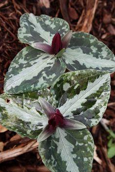 Trillium foetidissimum 'Woodville'