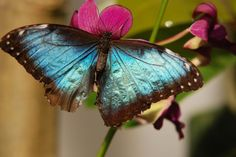 Blue Morpho butterfly--this is the type of butterfly Rosie from Personal Protection and Perfect Proposal has tattooed on her back