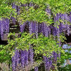wisteria sinensis - Google Search Portland Garden, Wisteria, Google Search, Plants, Plant, Planting, Planets