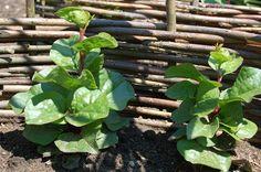 Vypěstujte si popínavý špenát. Můžete z něj ujídat až do podzimu