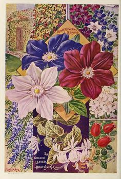 John Lewis Childs first catalogue of the 20th century features Clematis illustration - 1900
