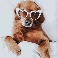 cute golden retriever puppy dog laying in bed wearing white heart shaped sunglasses. Cute Baby Animals, Animals And Pets, Funny Animals, Cute Puppies, Cute Dogs, Dogs And Puppies, Doggies, Cute Creatures, I Love Dogs