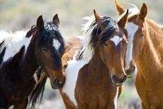 Take Action TODAY: Protect Wild Horses and Burros in Nevada! - American Wild Horse Preservation Campaign