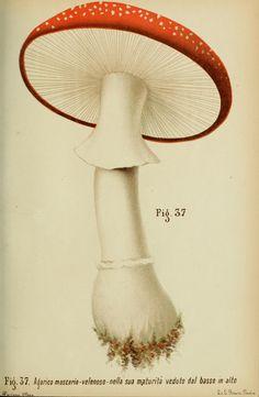 Fungi. Trattatello popolare sui funghi. Pavia :premiata tipografia fratelli Fusi,1887. Biodiversitylibrary. Biodivlibrary. BHL. Biodiversity Heritage Library.