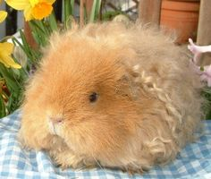 Texel Guinea Pig They Have Dense Ringlets | Cutest Paw