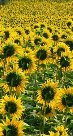 This always happened to me when I stopped by a field of sunflowers to take a pic- all would be facing away from me. Anyway, they're still beautiful!☀❀