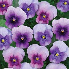 Sorbet Beaconberry viola