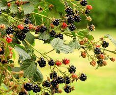 How to Store Blackberries | Garden Guides