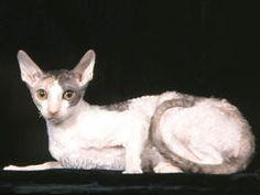 Chat Cornish Rex