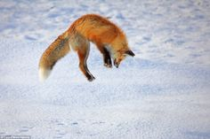 Captured jumping high into the air, the bushy tailed fox is seen leaping for his prey and then diving head first into the frozen surface