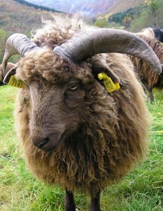 Brown ram of the Old Norwegian Speal breed. The viking sheep. Born this spring.