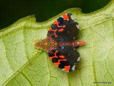 https://flic.kr/p/QiBFer | Leafhopper, Ladoffa sp. | from Ecuador: www.flickr.com/andreaskay/albums