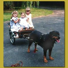 Carting With Your Rottweiler