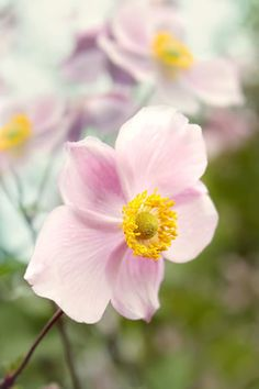 Zu den winterharten, mehrjährigen Blumenstauden gehört das Buschwindröschen