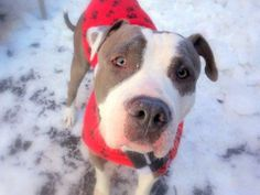 Rocky is an adoptable Pit Bull Terrier in New York, NY! He needs a new forever home!