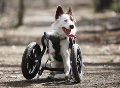 """Disabled border collie 'wakes up happy every day' - """"People think he should have been put down because they think   he's suffering,"""" she said. """"But he wakes up happy every day. If you had a child with a disability you'd try to enrich them, give them opportunities. So why not do the same with a dog?"""""""