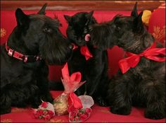 President George Bush and First Lady Laura Bush's pets, Miss Beazley, Barney (Scotties) and India, the cat.