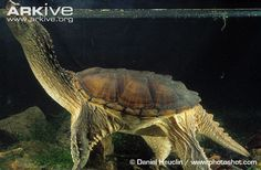 Common snapping turtle breathing at surface of the water