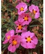 Purple Rock Rose (Cistus x purpureus)
