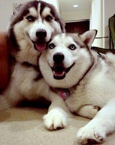 Siberian huskies Siberian huskies Life with a Siberian husky Smiling Animals, Funny Animals, Cute Animals, Cute Husky, Puppy Husky, Most Beautiful Dogs, Animals Beautiful, Shiba Inu, Husky Mignon