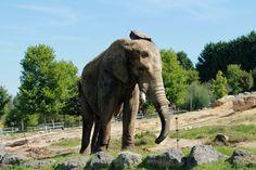 Eléphant - Zoo Parc Beauval, Loir-et-Cher, France - 18 Sept. 2012