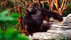 Pangani Forest Exploration Trail-tropical forest inhabited by native African wildlife including gorillas, hippos and exotic birds.