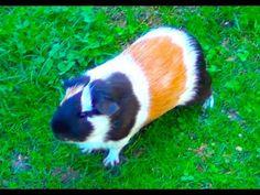 Guinea Pig Noises Loud Squeaking Sounds Guinea Pig Run, Cute Guinea Pigs, Wombat, Tarot Gratis, Dog Food Brands, One Piece Manga, Fractal Art, Fast Cars, Things To Buy