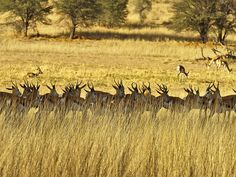 A Springbok herd catches some shade, while likely keeping an eye out for those damn cats.