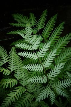 Pteris spp