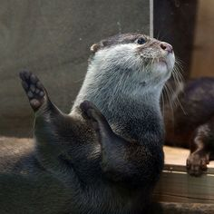 Otter does the hula dance - September 2016 Cute Funny Animals, Cute Baby Animals, Animals And Pets, Otters Cute, Baby Otters, Baby Sloth, Otter Love, Interesting Animals, Lovely Creatures