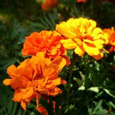 Flores no Jardim do Museu Imperial de Petrópolis Marigold, Plants, Museum, Garden, Flowers, Plant, Planets