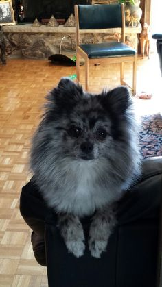 Blue Merle pomeranian Puppy Dogs Hound Pups Hunting Puppies