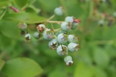 Blueberries by Andreas Benkel on 500px