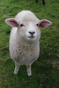 Romney Sheep, Farm Animals, Cute Animals, Baby Lamb, Cute Sheep, Counting Sheep, Sheep And Lamb, Animal Pictures, Goats