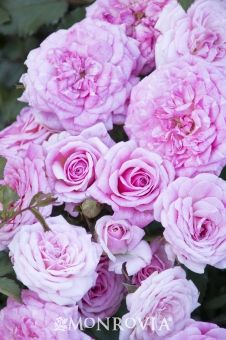 Monrovia's Sweet Drift® Groundcover Rose details and information. Learn more about Monrovia plants and best practices for best possible plant performance.