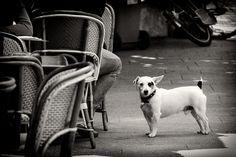 Un Jack Russell chien, Paris