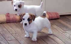 Two Shorty Jack Russell Terrier Puppies Images