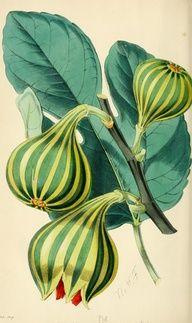 BOTÁNICA - www.plantillustrations.org