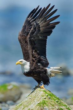 Bald eagle with wings spread. Majestic king of all he surveys!