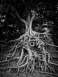 The Giving Tree by Breslow, via Flickr  roots run deep