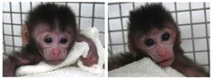 """A team of Chinese researchers reported the first-ever live births of monkeys genetically engineered with a new gene-editing system called CRISPR/Cas9. The technique may herald an age of custom-designed research monkeys, perhaps producing better models of human disease. It also raises profound ethical questions about how we treat these intelligent, emotional creatures.""  NIU ET AL./CELL"