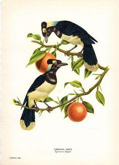Jay Birds Antique Bird Print Axel by AntiquePrintGallery on Etsy