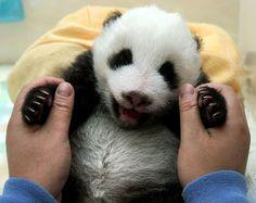 baby Panda | Huamei II, the 50-day-old panda cub, at the Wolong Giant Panda ...