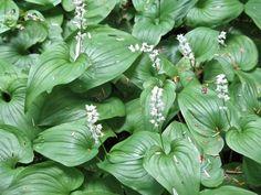 False Lily of the Valley wildflowers  (Maianthemum dilatatum) in Southeastern Alaska.