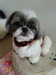 Shih Tzu  Cute cut, face cut works well with coloring