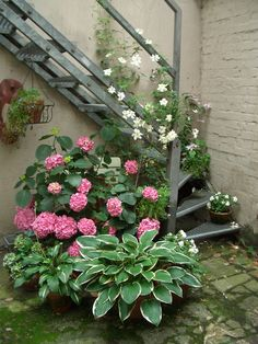 Hosta, Hydrangea, Clematis, Impatients, and other potted plants in a mossy courtyard...