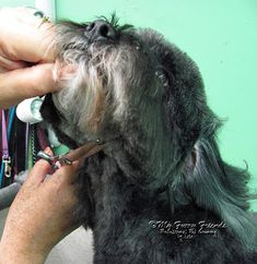 Pet Grooming: The Good, The Bad, & The Furry: Scissoring Heads Dog Grooming Styles, Dog Grooming Shop, Dog Grooming Salons, Poodle Grooming, Rescue Dogs, Pet Dogs, Pets, Goldendoodle Grooming, Cockapoo
