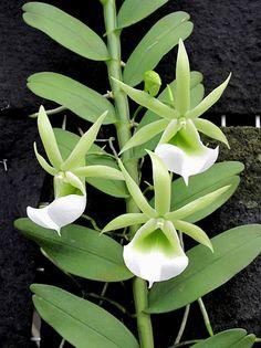 Angraecum Orchid  (Angraecum eichlerianum)