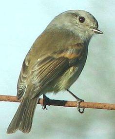 Viudita - AVES DE CHILE Reptiles, Flora, Cute, Little Birds, Birds Photos, Amphibians, Wings, Watercolor Painting, Nature